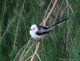Scandinavian Long-tailed t*t (Aeithalos caudtus)