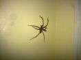 New! Huge Scary Spider!