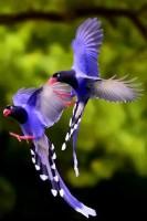 Taiwan Blue Magpie (Uroci