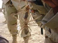 camel spiderr