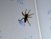 Another Bathroom spider