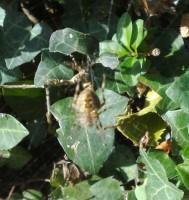 Bush spider 2