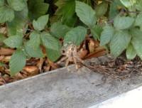 bush spider