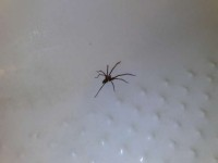 A spider in the bath!