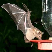 Drinking Bat