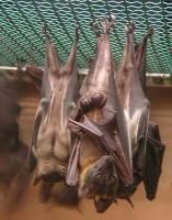 Bat ciesta
