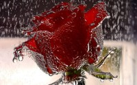 Red-Red-Rose