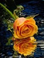 rose-raj