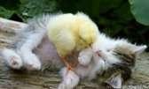 chicklet2