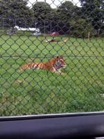 Tiger Crouching/mowbli